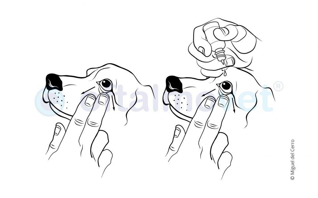 ¿Cómo le pongo las gotas en los ojos a mi perro?